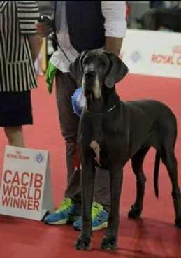 Great dane breeding in Pisa