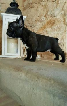 French Bouledogue breeding in Pisa Tuscany